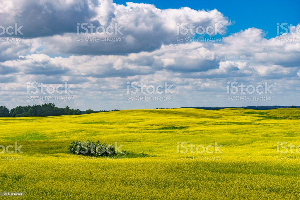 Blossom canola or colza flowers field on sunny summer day stock photo