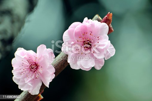 Blossom cherry flowers in Springtime