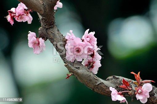 istock Blossom cherry flowers in Springtime 1149808519