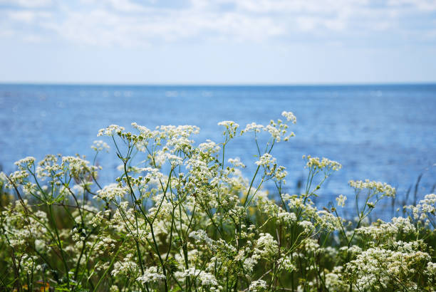 Blossom cow parsley by the coast stock photo