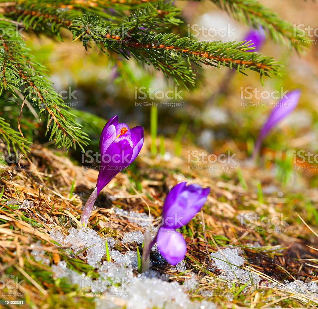 blossom crocus in spring royalty-free stock photo