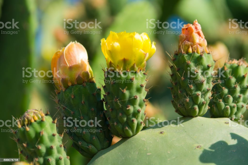 Blossom edible prickly pears (Opuntia ficus-indica) cactus plants stock photo