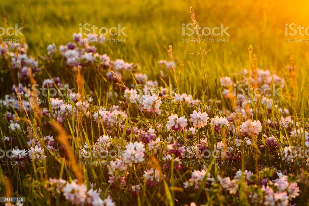 Blossom flowers on a meadow with sunset bright light stock photo