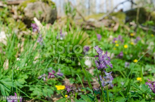 Beautiful blossom Hollow Root flowers closeup in the bright green grass on a forest ground