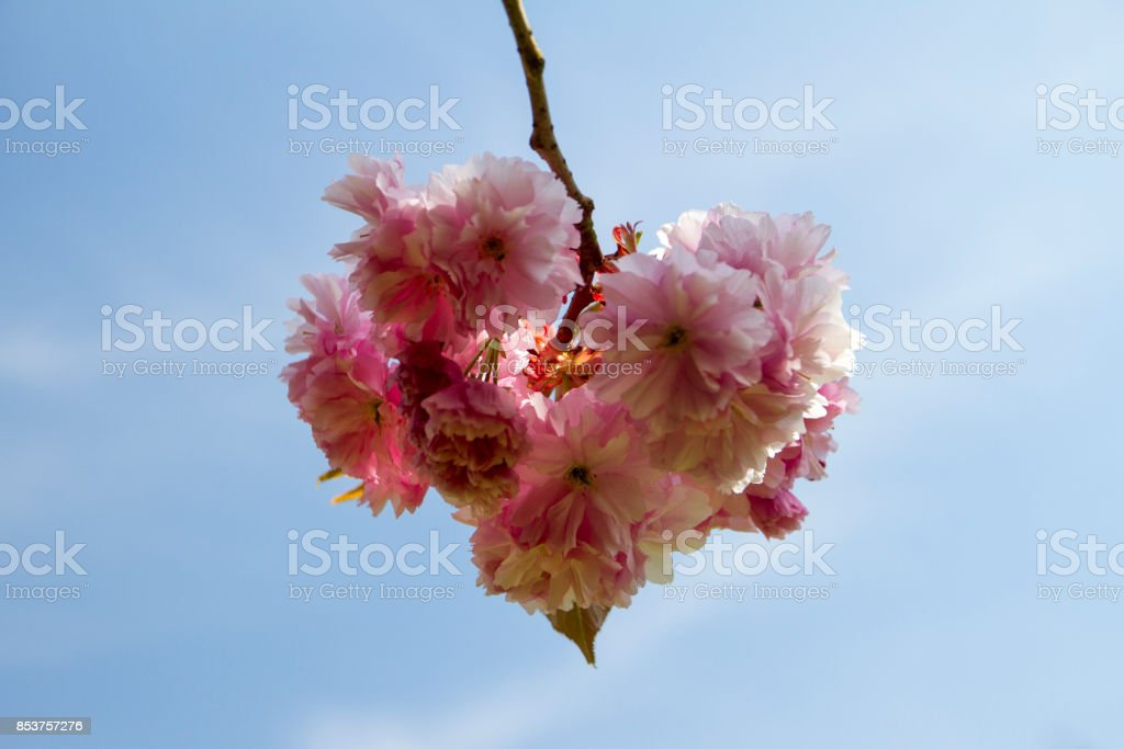 Blossom Heart royalty-free stock photo