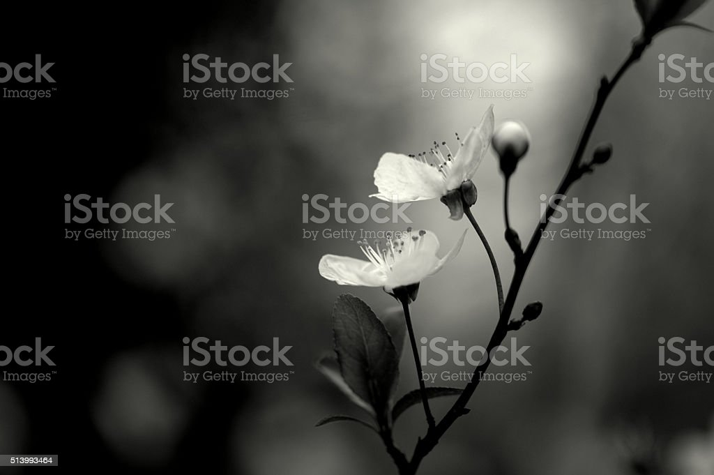 Blossom in black and white stock photo