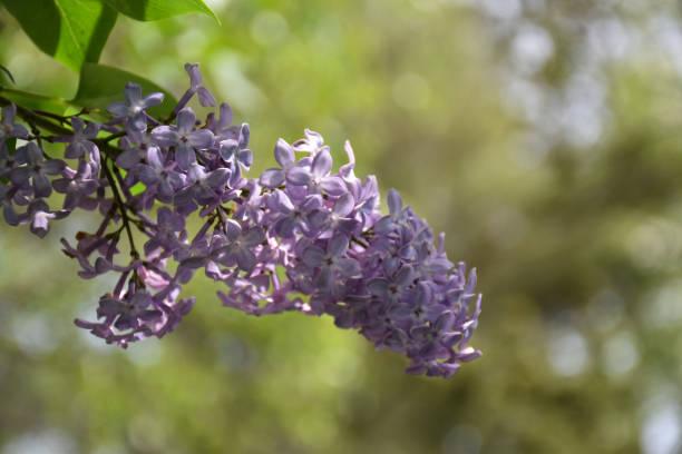 Blossom lilac close up stock photo