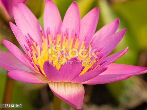 istock Blossom lotus flower 1171131942