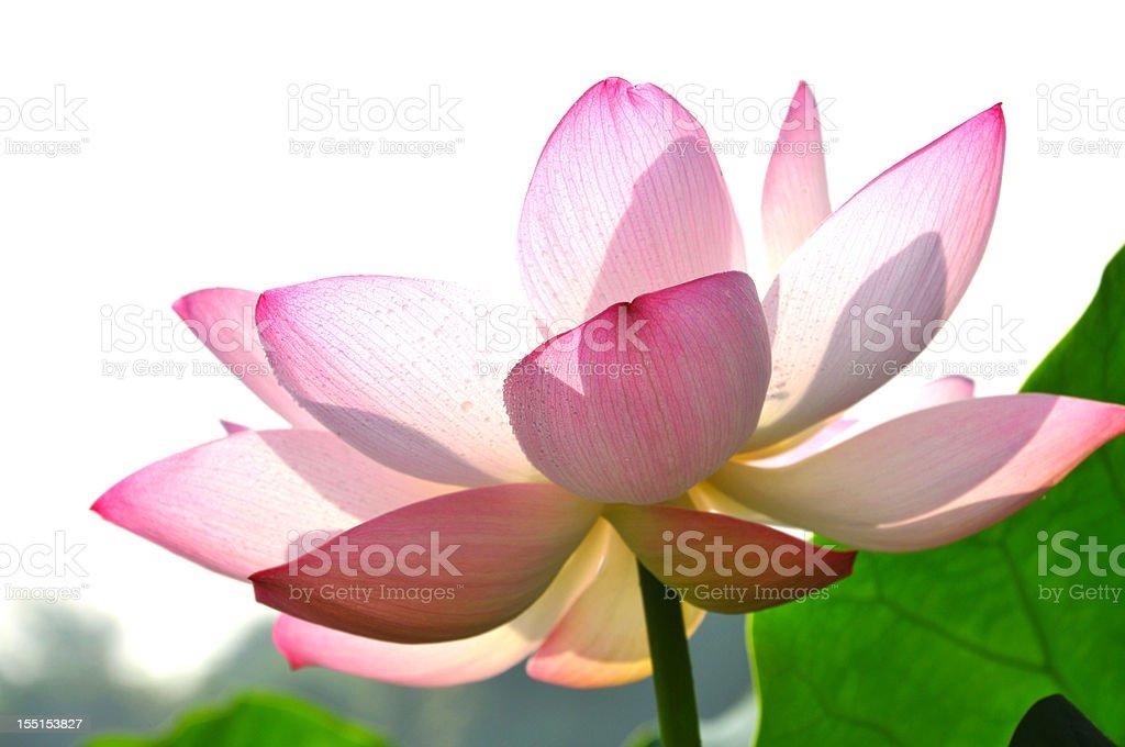 Blossom lotus flower royalty-free stock photo