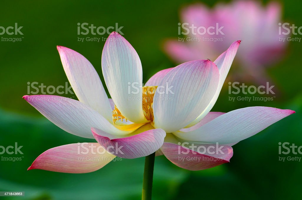 Blossom lotus flowers royalty-free stock photo