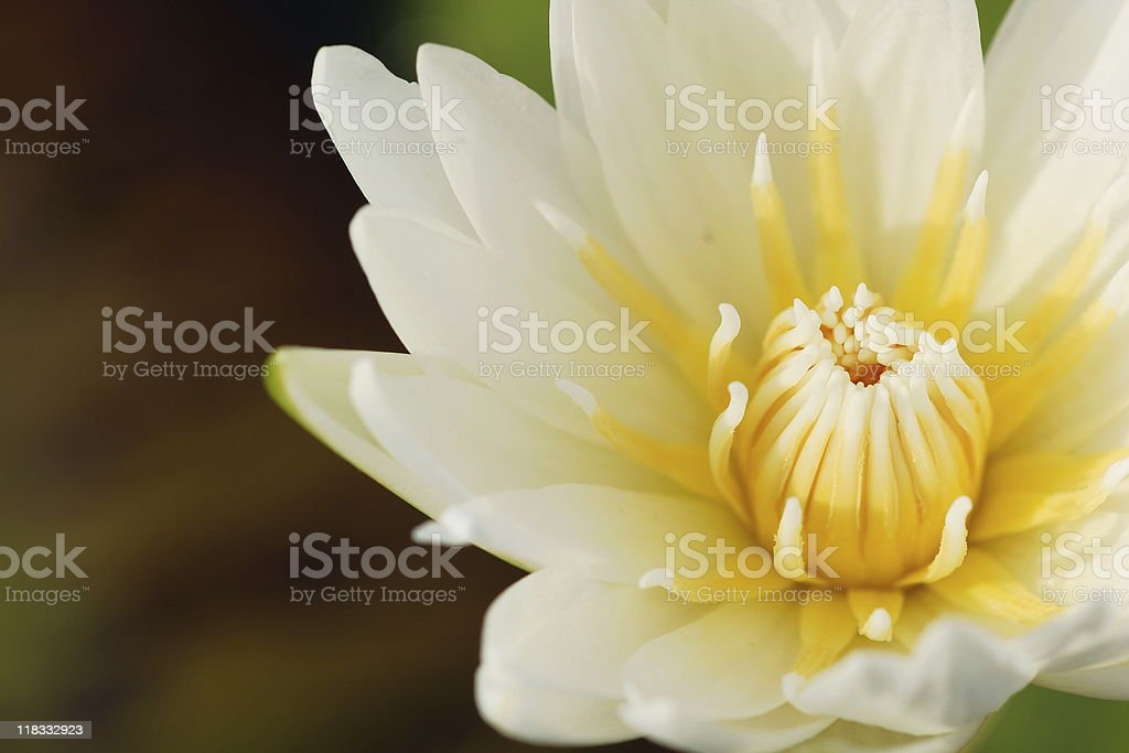 Blossom lotus royalty-free stock photo