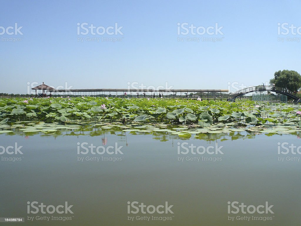 blossom lotus royalty-free stock photo