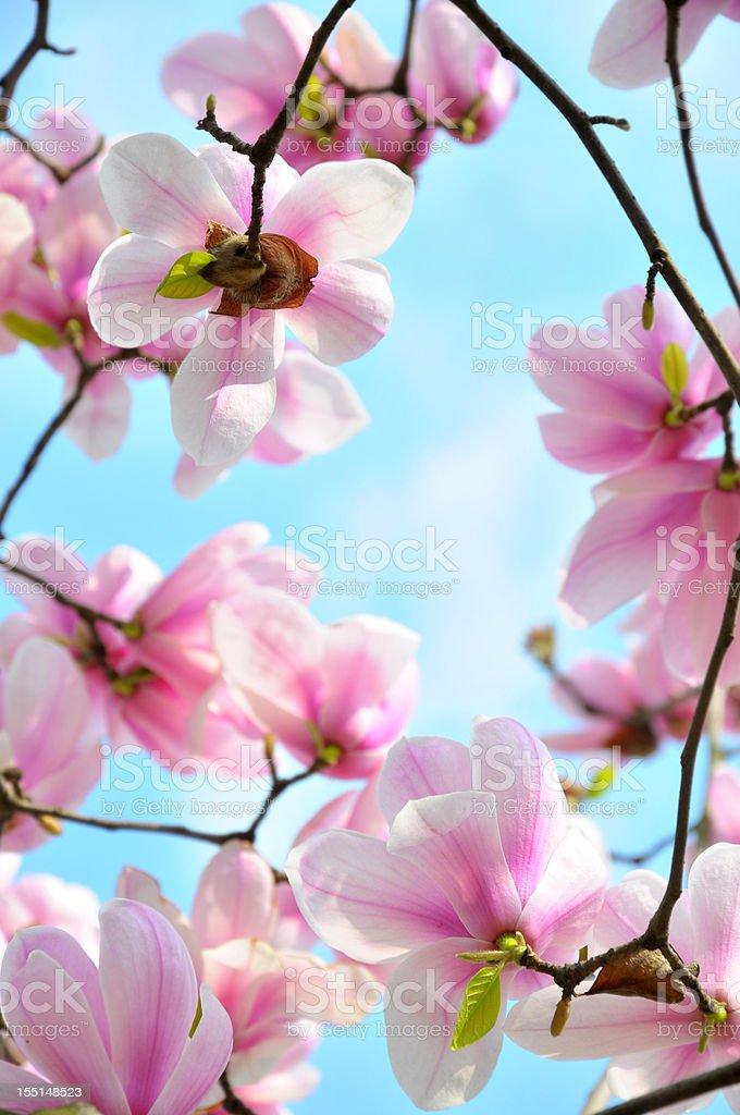 Blossom magnolia flowers royalty-free stock photo