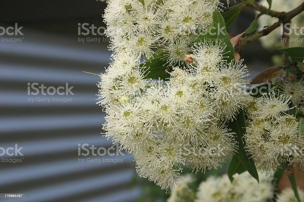 blossom tin royalty-free stock photo