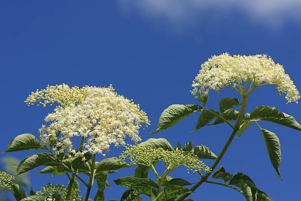 blossom of black elder - weißer holunder stock-fotos und bilder