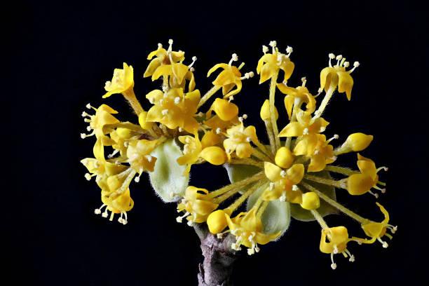 Blossom of a Cornus (Cornus mas) (Kornelkirsche) macro shot stock photo
