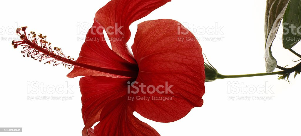 Blossom of a red flower royalty-free stock photo