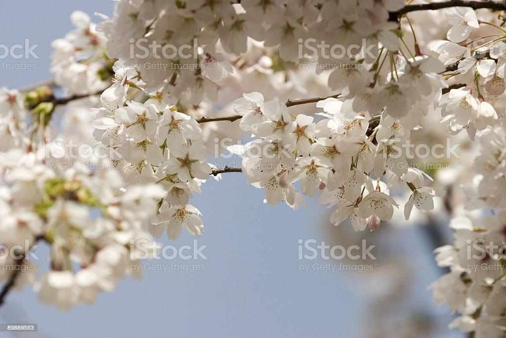 blossom of an apple tree royalty-free stock photo