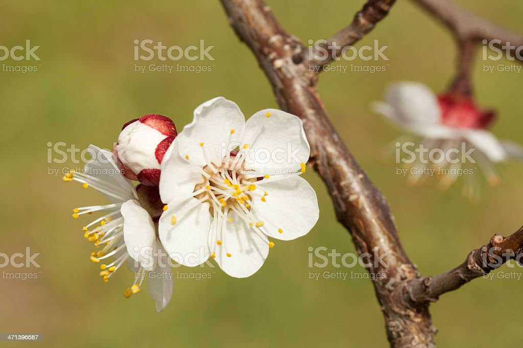 blossom of apricot stock photo