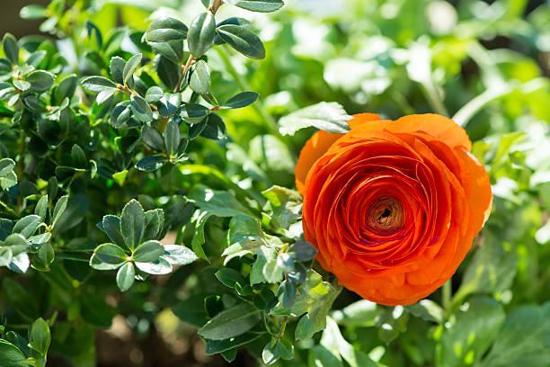 blossom of Hahnenfuß-Blumen auf green leafs im Garten – Foto