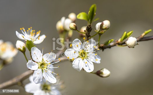 Blossom of common hawthorn or single-seeded hawthorn (Crataegus monogyna) closeup. This species of hawthorn is native to Europe, northwest Africa and western Asia.