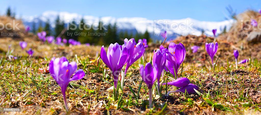 blossom of crocuses in spring royalty-free stock photo