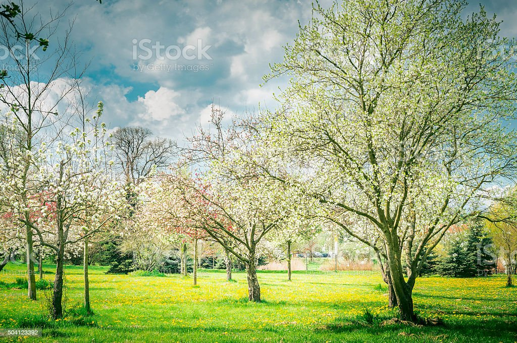 Blossom of  fruits trees garden or park. Spring nature background stock photo