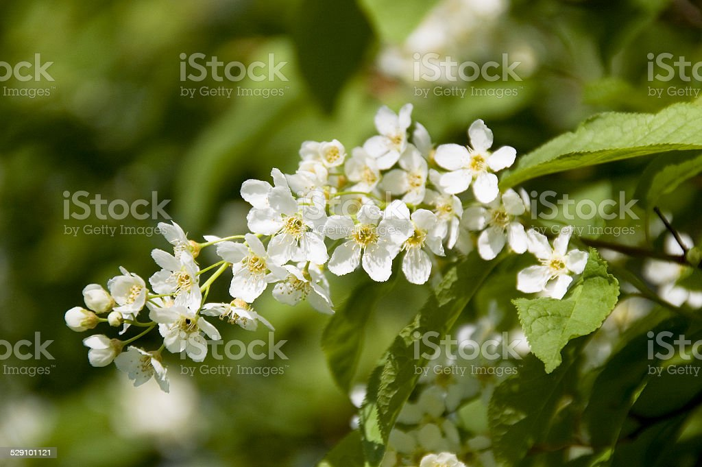 Blossom of mayflower stock photo