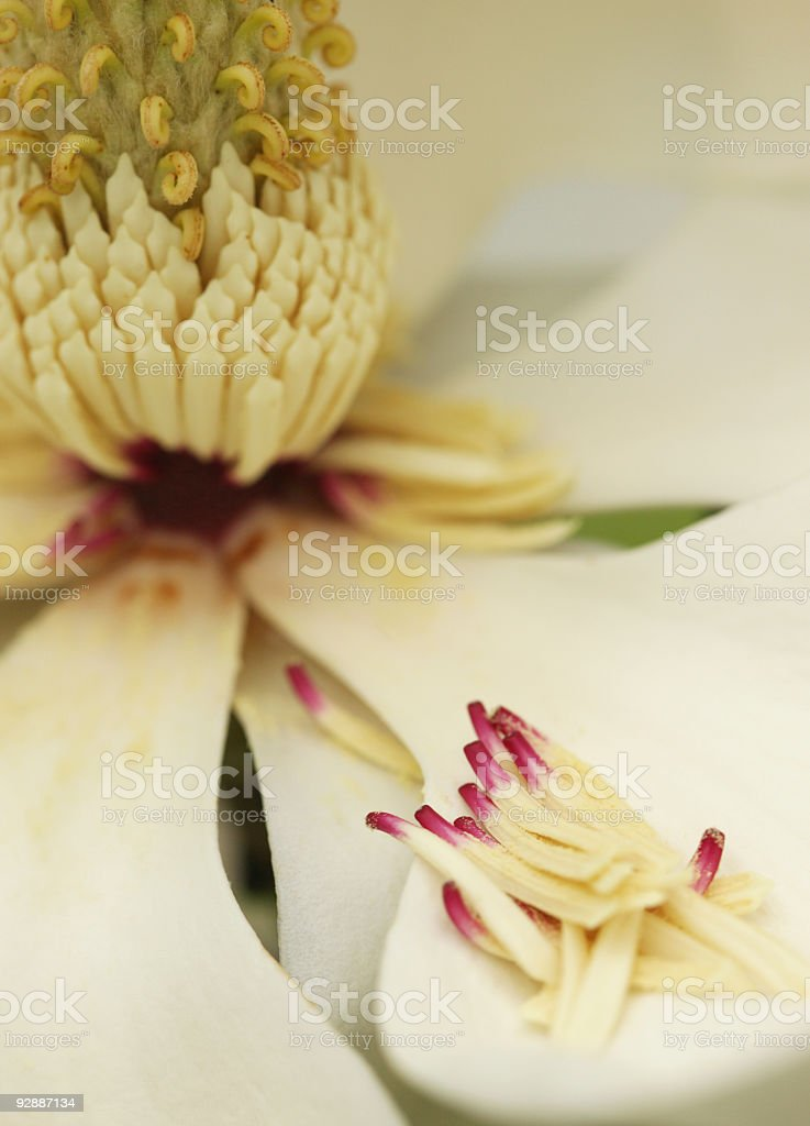 Blossom of the Blooming white magnolia flower royalty-free stock photo