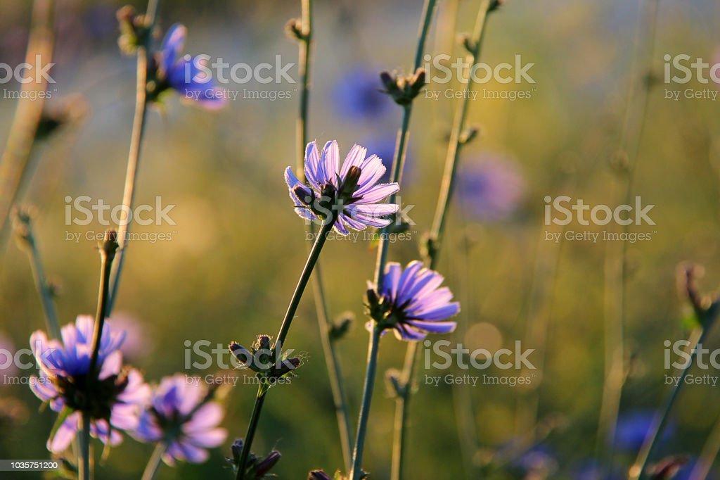 Blüte Blau Cichorium Blaue Blumen Von Chicorée Auf Dem Hintergrund