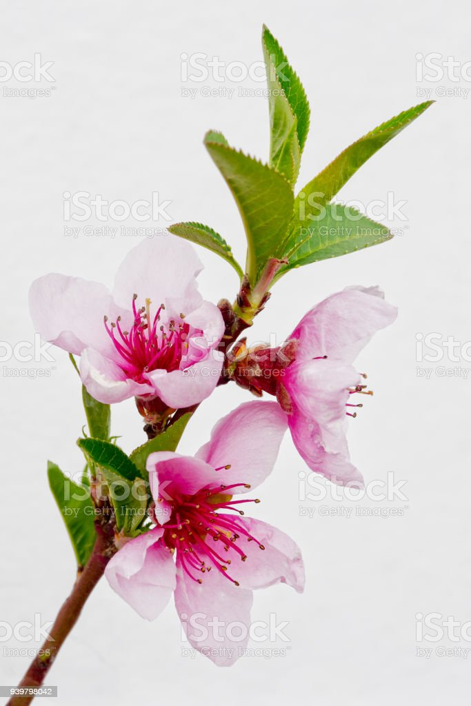 Blossom of the Nectarine 'Madame Blanchette' stock photo