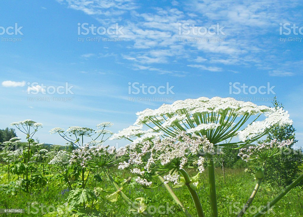 Bloesem van de giftige plant Heracleum foto