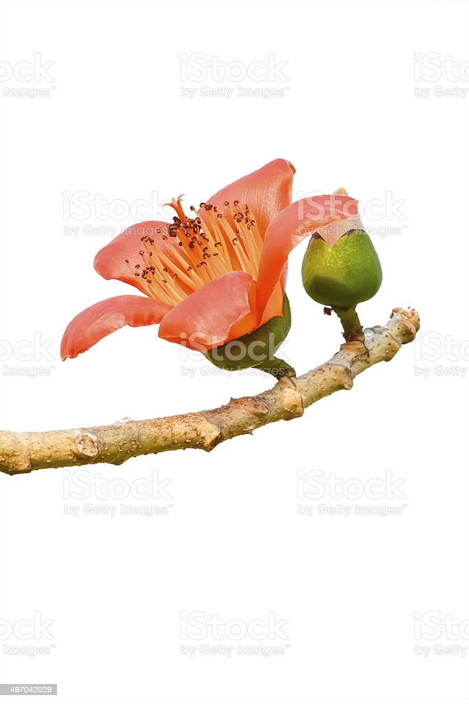 Blossom of the Red Silk Cotton Tree stock photo