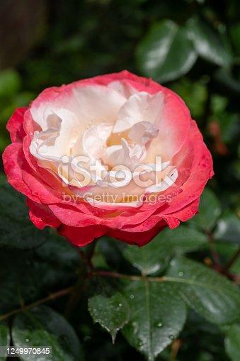 Blossom of white red Hybrid tea nostalgie or double delight florist garden rose close up