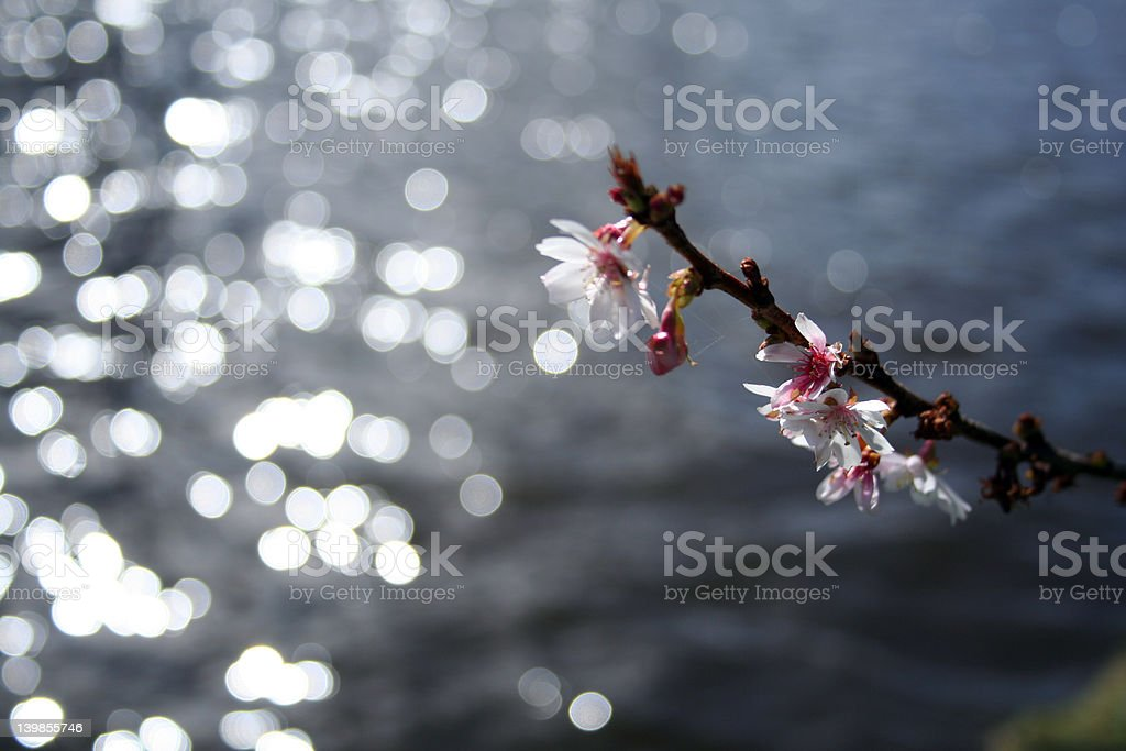 blossom over water stock photo