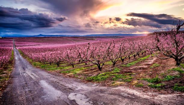 blossom peach tree in spring at sunset in aitona, catalonia, spain - lleida стоковые фото и изображения