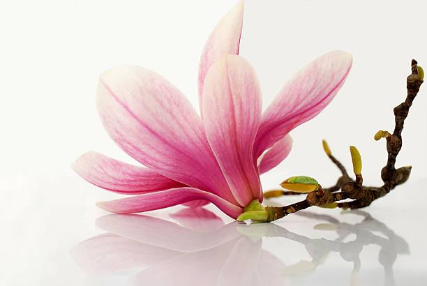 период цветения - magnolia стоковые фото и изображения