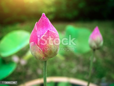 Beautiful pink lotus flower buds There are corner insects.