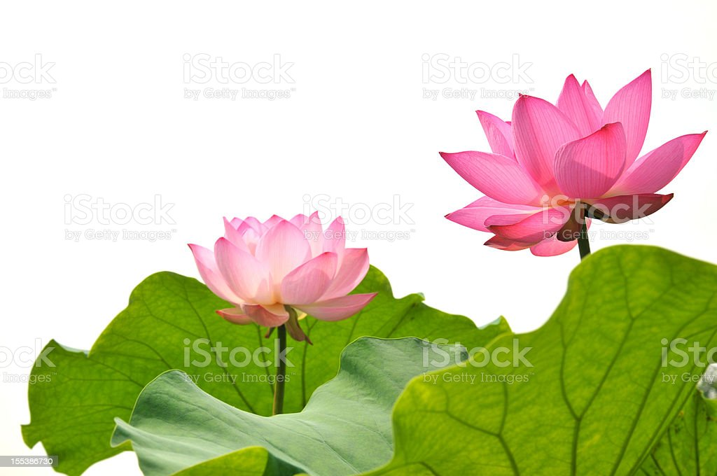 Blossom pink lotus flower stock photo