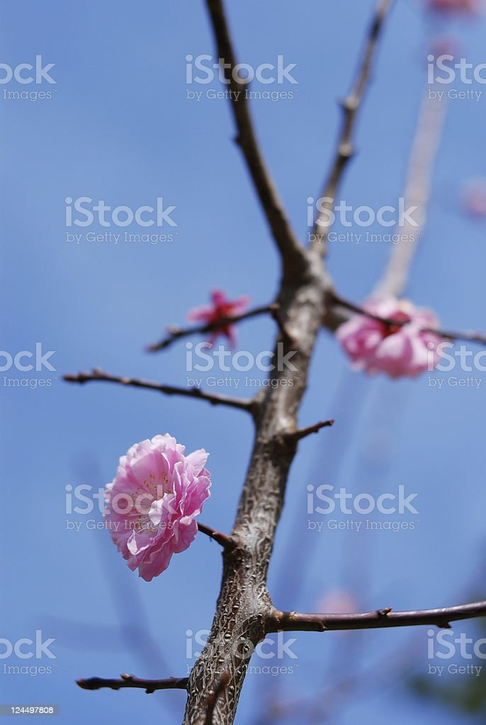 blossom plum branch royalty-free stock photo