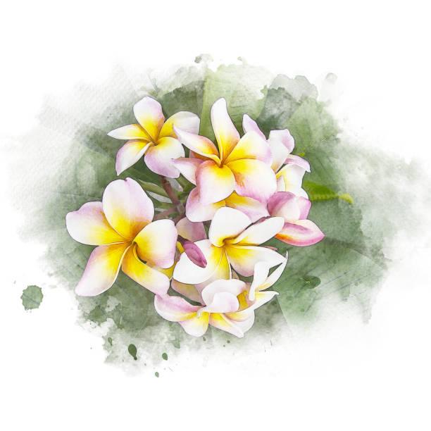 Blossom plumeria flower picture id898448822?b=1&k=6&m=898448822&s=612x612&w=0&h=jsfn qzrv6rpu1bapkochg dhlaylxv ncv4 dmau c=
