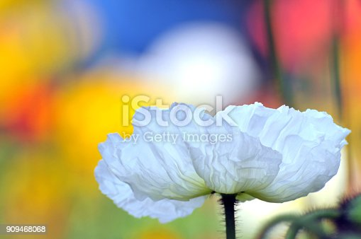 Blossom poppy flower