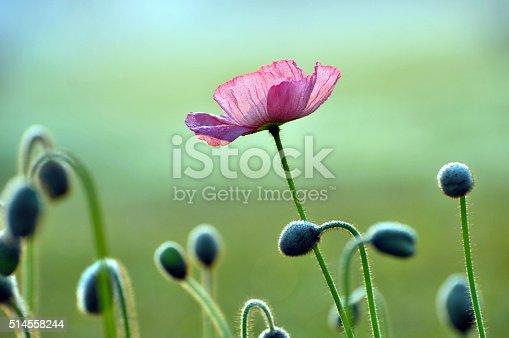 istock Blossom poppy flowers 514558244