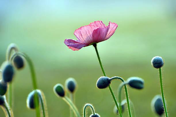 flores de flor de papoula - papoula planta - fotografias e filmes do acervo