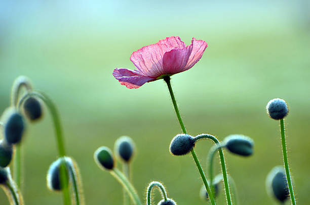 Blossom poppy flowers Blossom poppy flowers with dew in the morning bud stock pictures, royalty-free photos & images