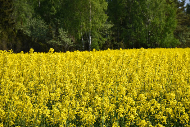 Blossom rapeseed field i front of a green forest stock photo