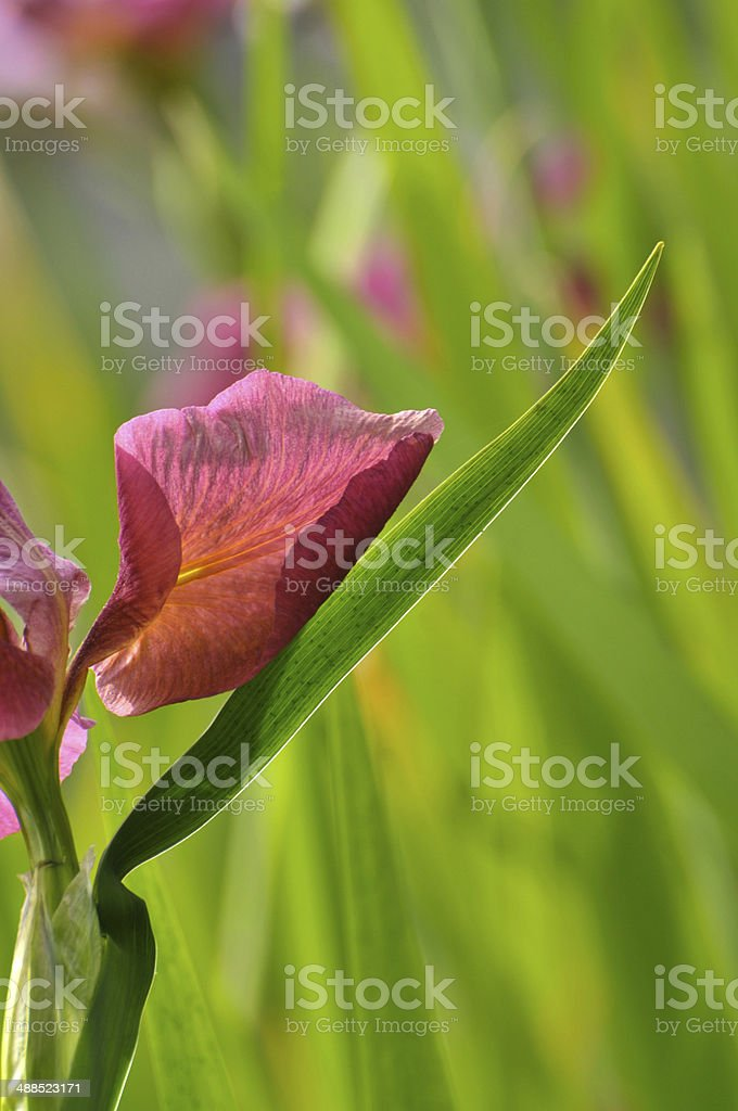 Blossom red gladiolus flower royalty-free stock photo