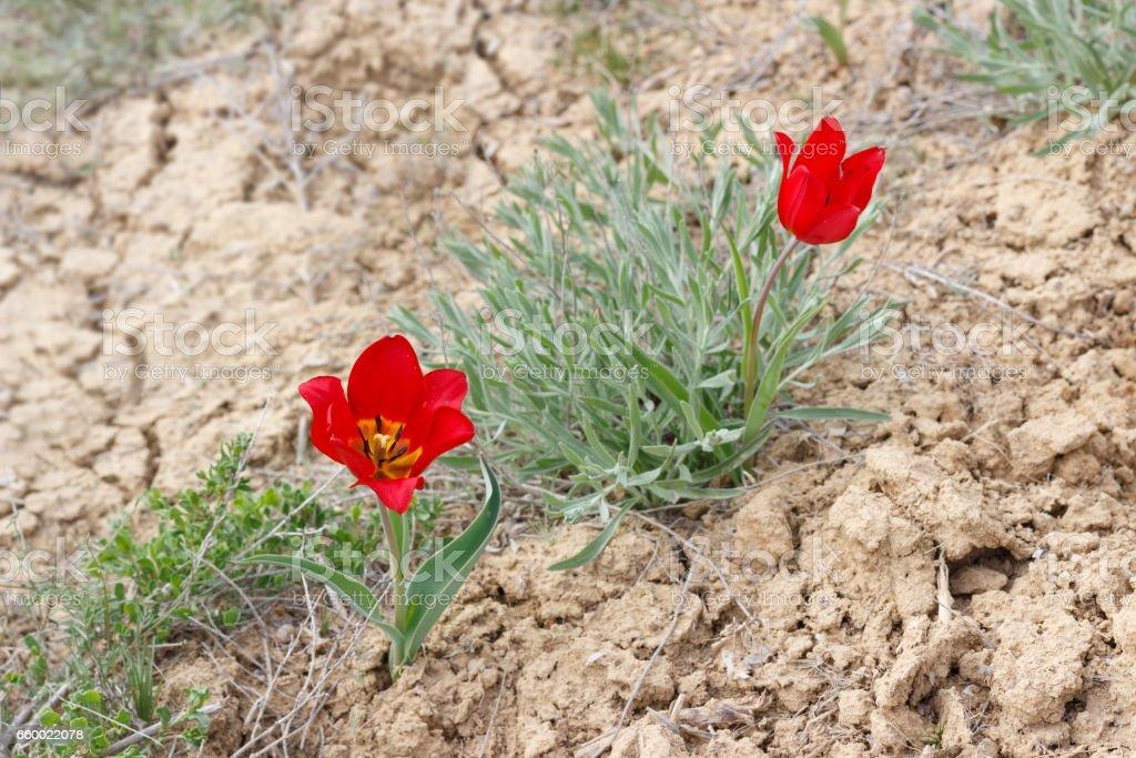 blossom red tulips (Tulipa gesneriana, Tulipa suaveolens, Tulipa schrenkii) in desert near mount Bogdo in Russia. stock photo