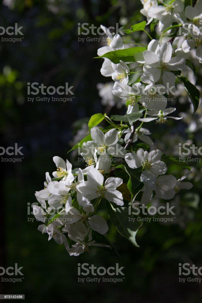 Blossom rennet stock photo