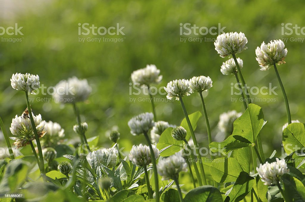 Blossom small flowers royalty-free stock photo
